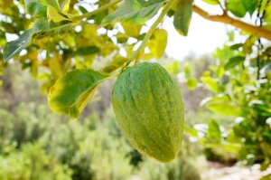Etrog (citron) on a branch
